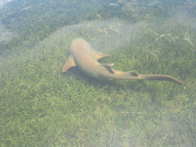 A Nurse shark underwater at St. Martins Marsh Aquatic Preserve
