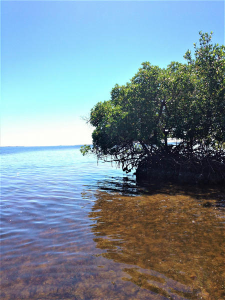Red mangroves bordering the waters at Cape Haze Aquatic Preserve