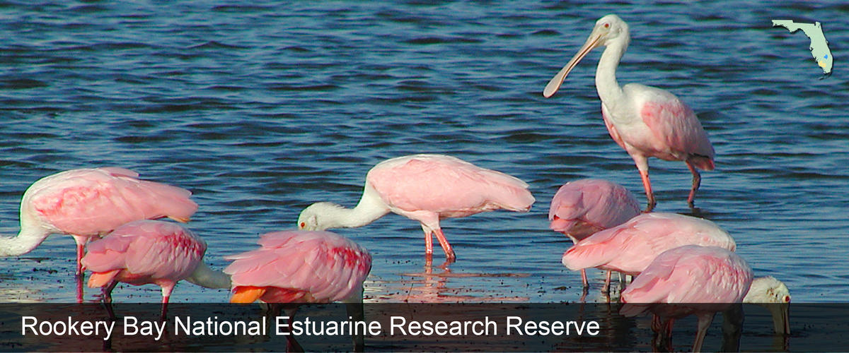 A group of Spoonbills in the water at Rookery Bay National Estuarine Research Reserve in Collier County, Florida
