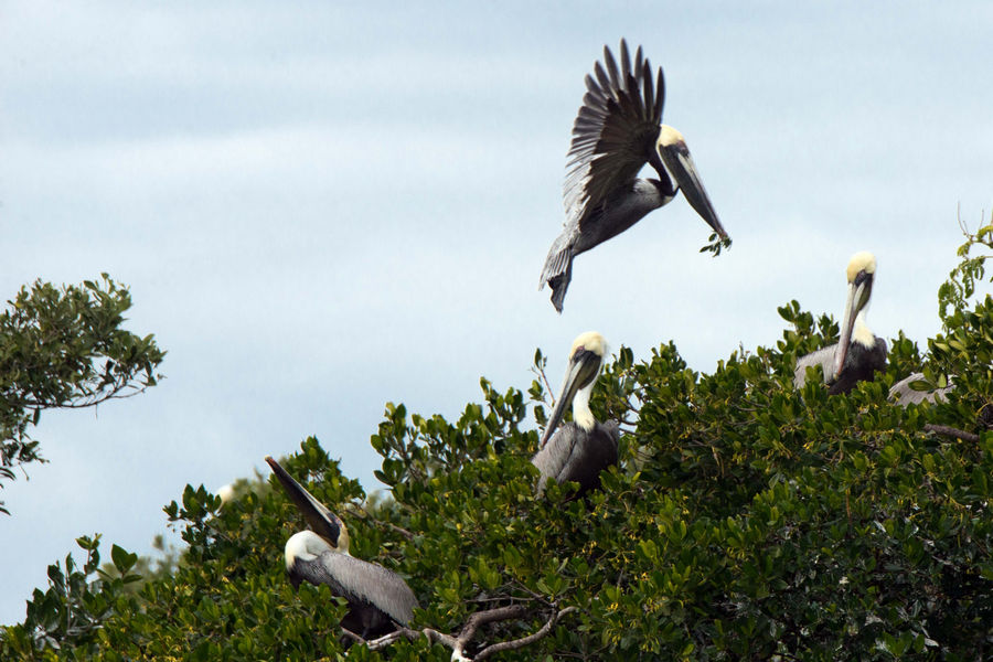 Brown pelicans are among the birds that nest on rookery islands in Estero Bay