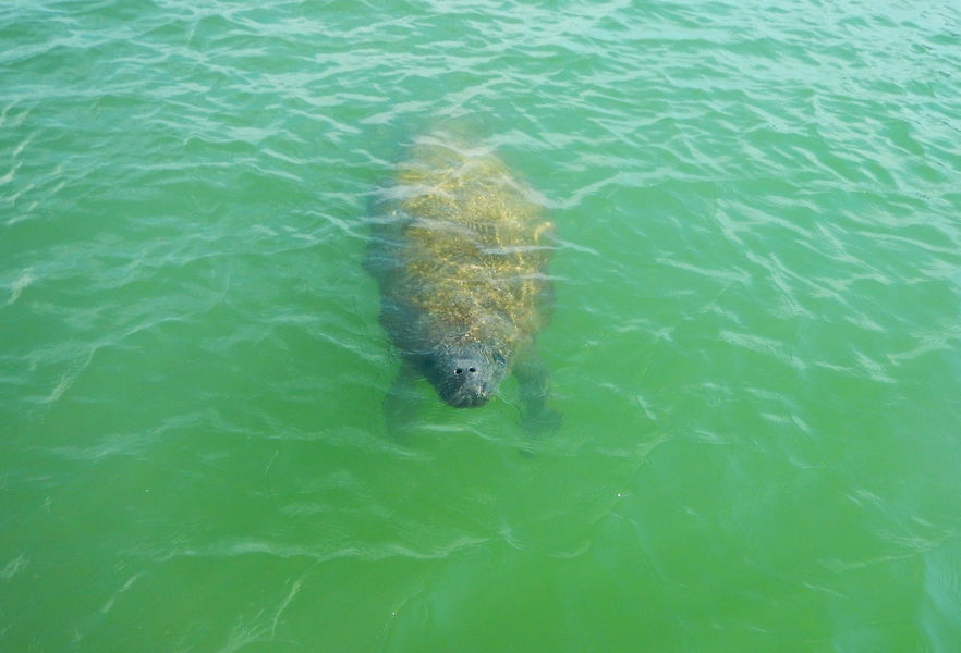 Manatees are a common sight in the Estero Bay Aquatic P