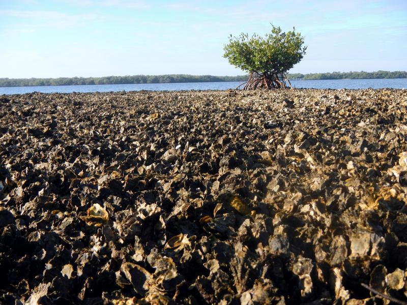 Exposed oyster reef at Estero Bay Aquatic Preserve