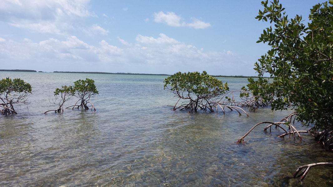 Red mangroves at Coupon Bight Aquatic Preserve