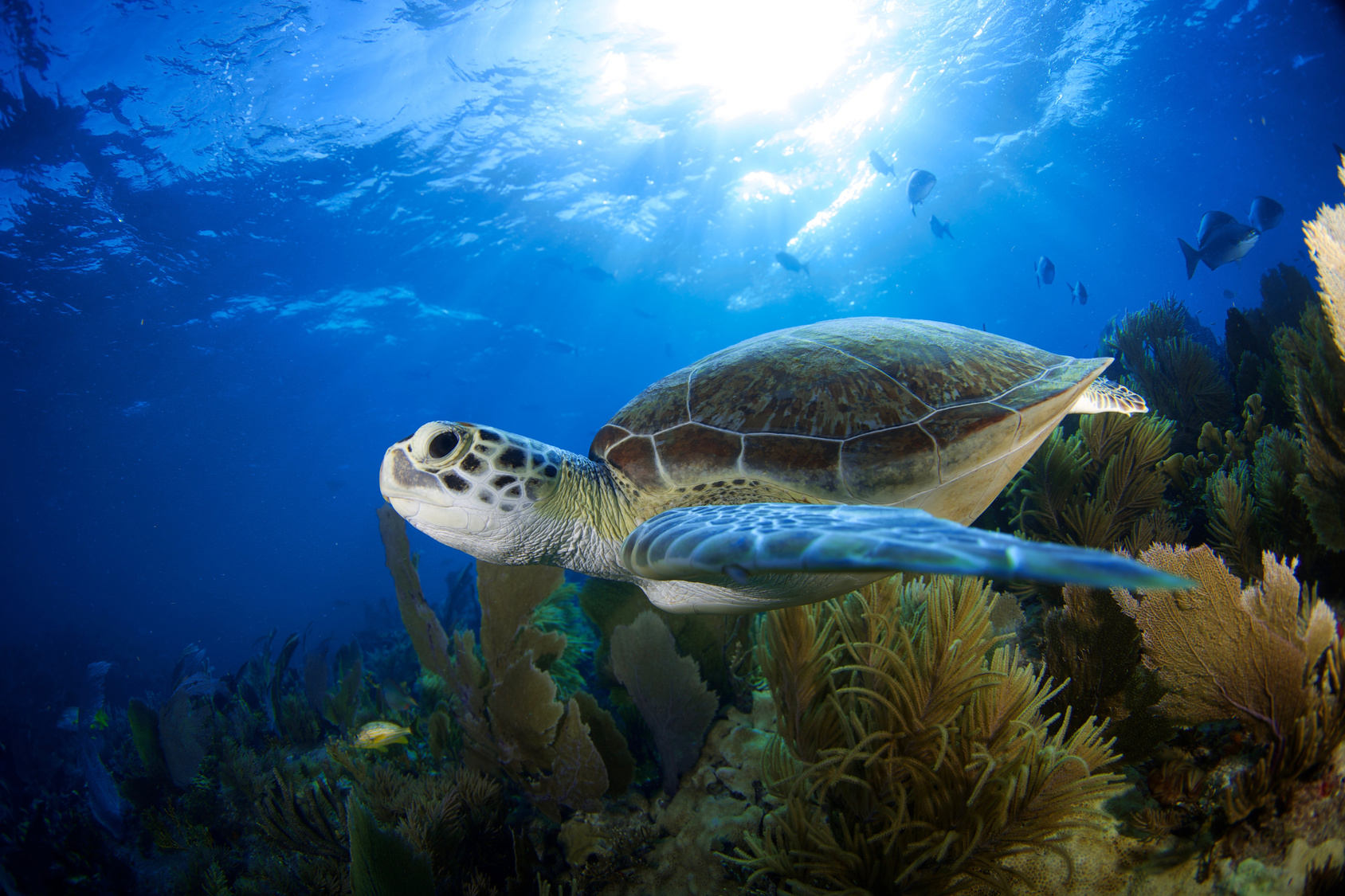 Green Sea turtle swimming amidst coral and sunlight