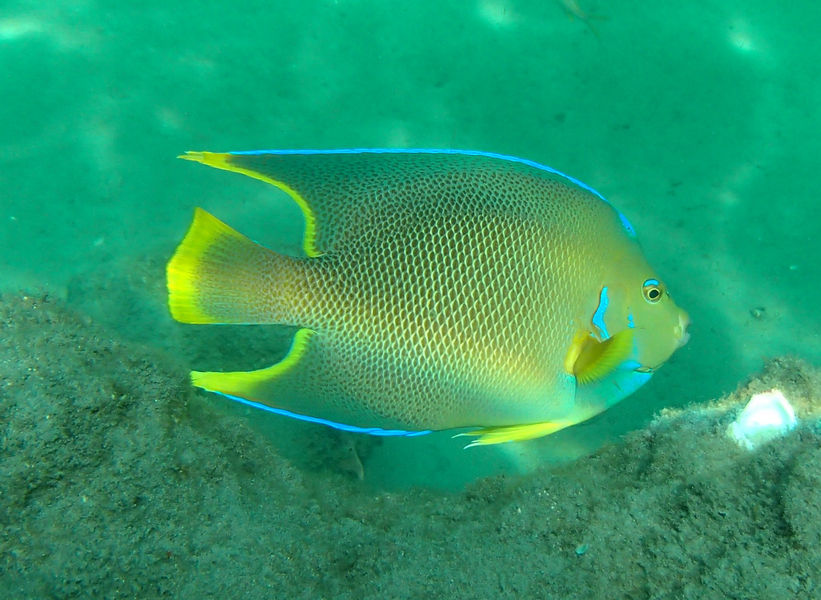 A Townsend Angelfish swimming at John D. MacArthur Beach State Park