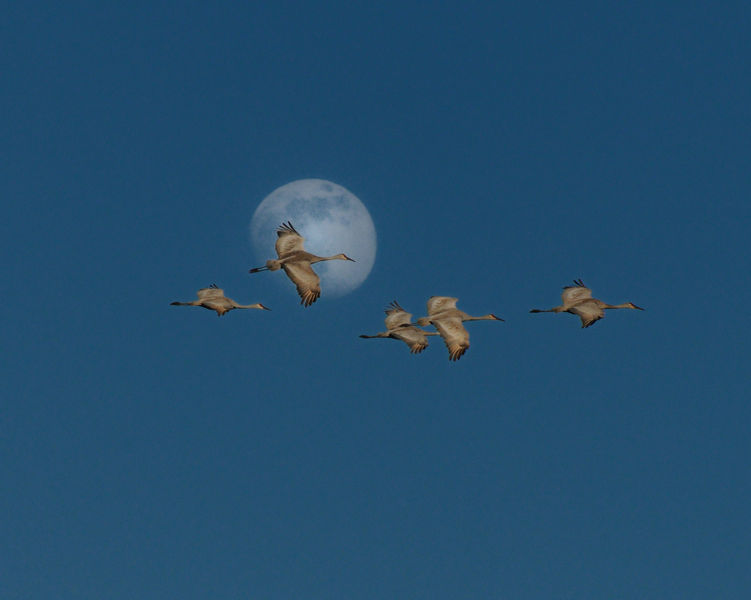 Paynes Prairie Preserve State Park - Cranes flying with a moon backdrop