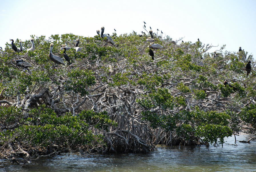 Pelicans and cormorants are among the species that roost or nest on mangrove islands in Pine Island Sound Aquatic Preserve