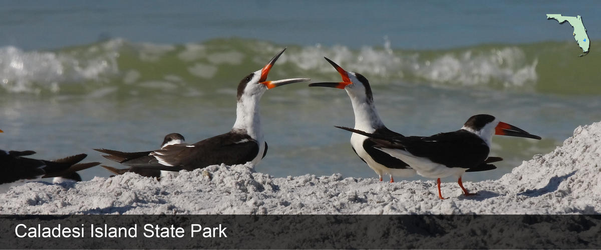 Shorebirds by the water at Caldesi Island State Park in Pinellas County, Florida