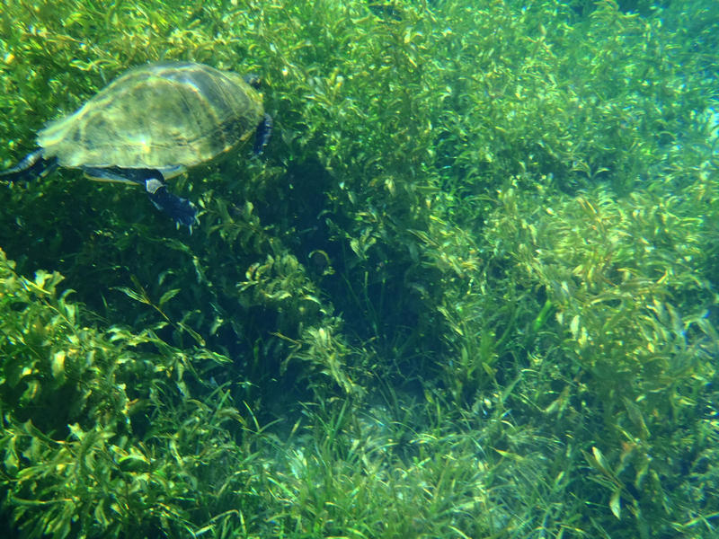 A turtle swimming through the seagrass at Rainbow Springs State Park