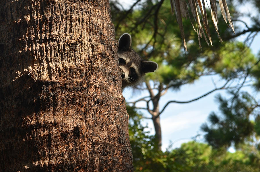 T.H. Stone Memorial St. Joseph Peninsula - Raccoon looking from behind a Sabal Palm