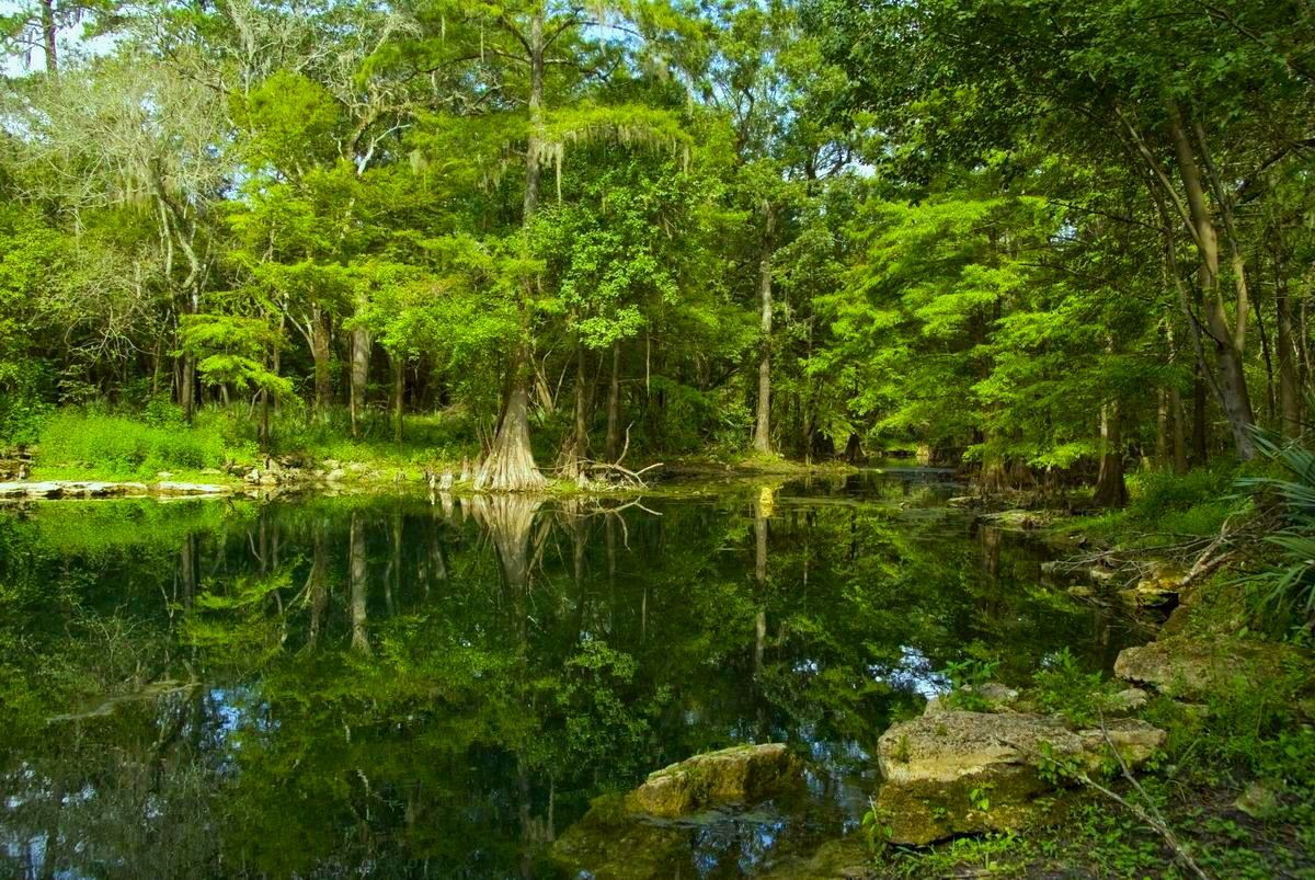 Cypress trees and woods at Wes Skiles Peacock Spring State Park