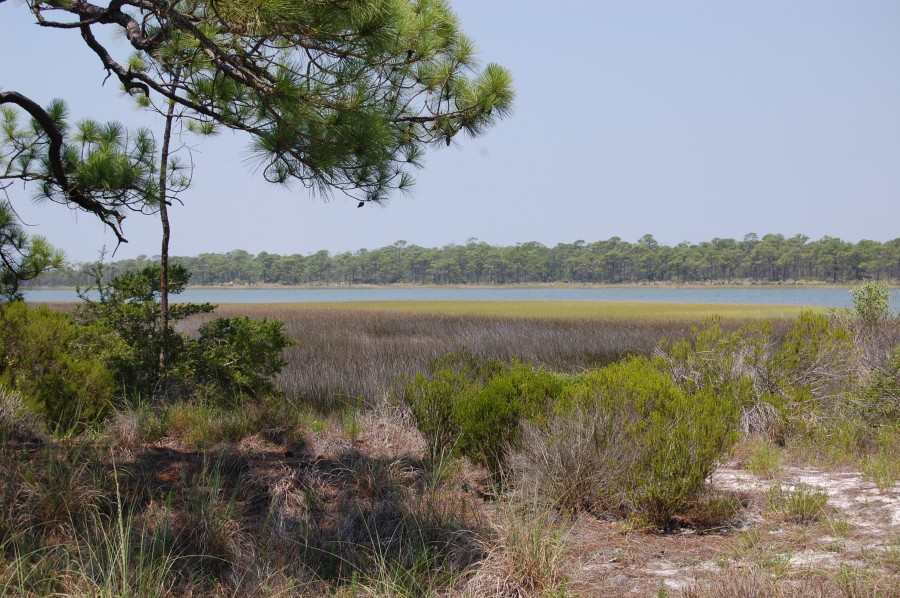 Slash pine (Pinus elliottii) can often be found near the edge of salt marshes or on small hammock islands.
