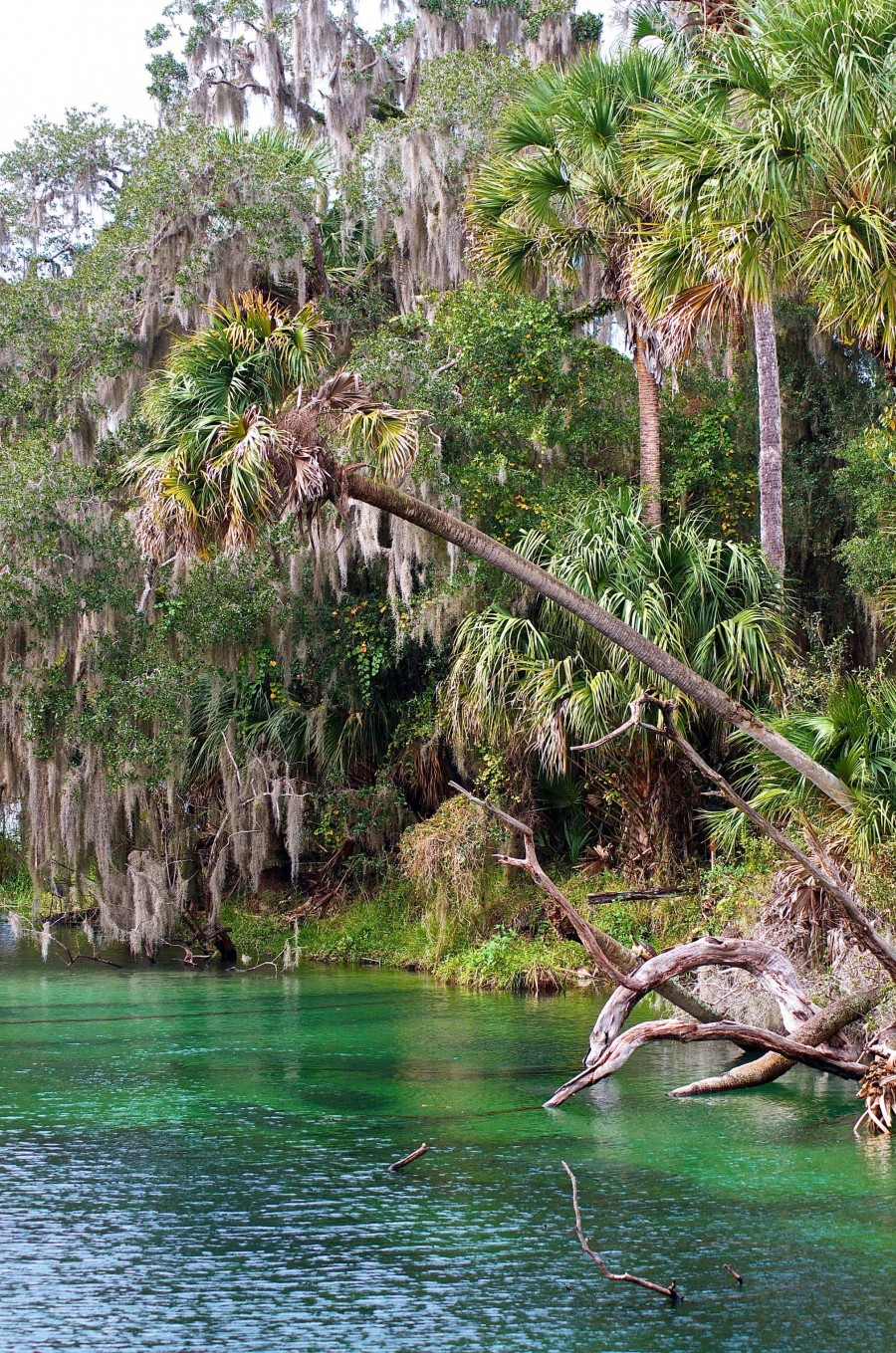View of manatees and the riverbank Blue Spring State Park