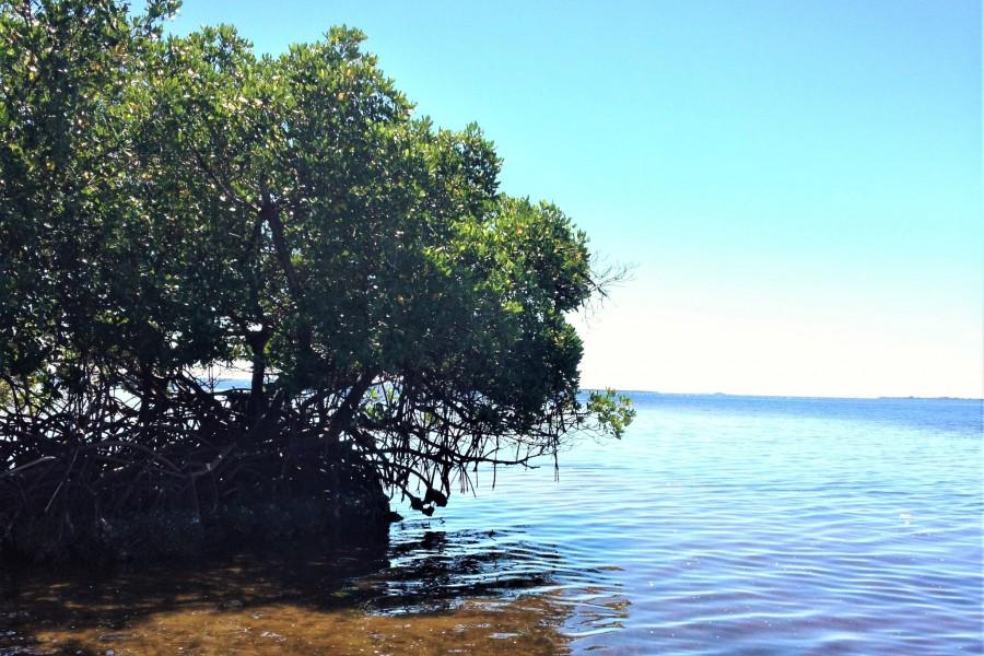 Mangroves fringe the Cape Haze Aquatic Preserve