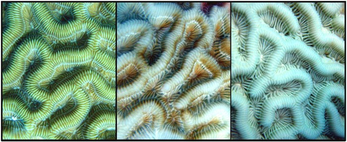 Comparison of healthy (left), paling (middle), and bleached (right) brain coral, Colpophyllia natans.