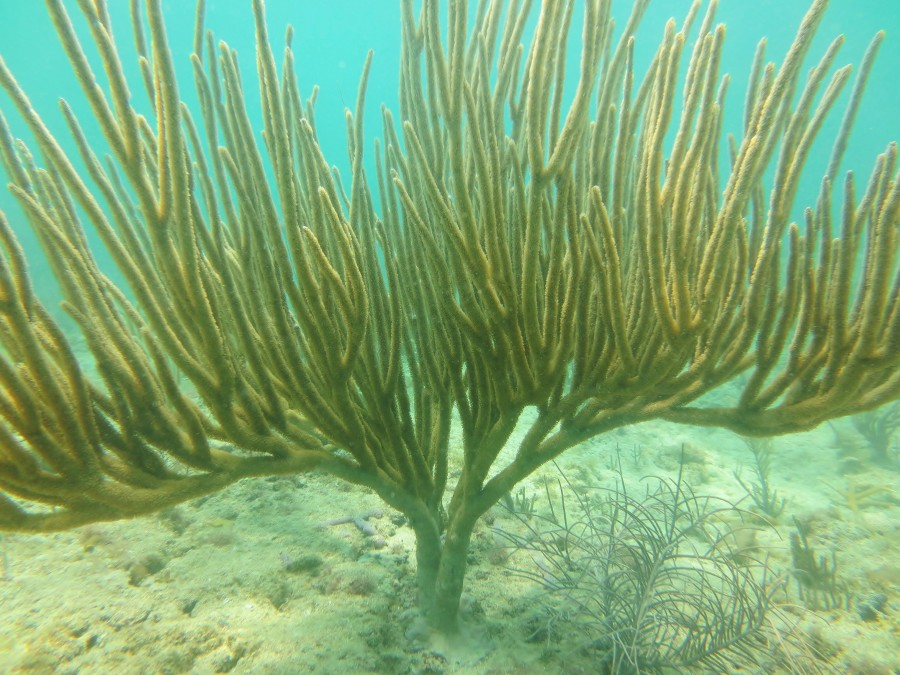 A rod gorgonian on the reef
