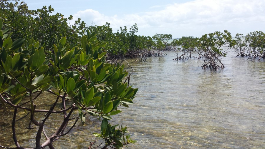 A group of mangroves at Coupon Bight Aquatic Preserve