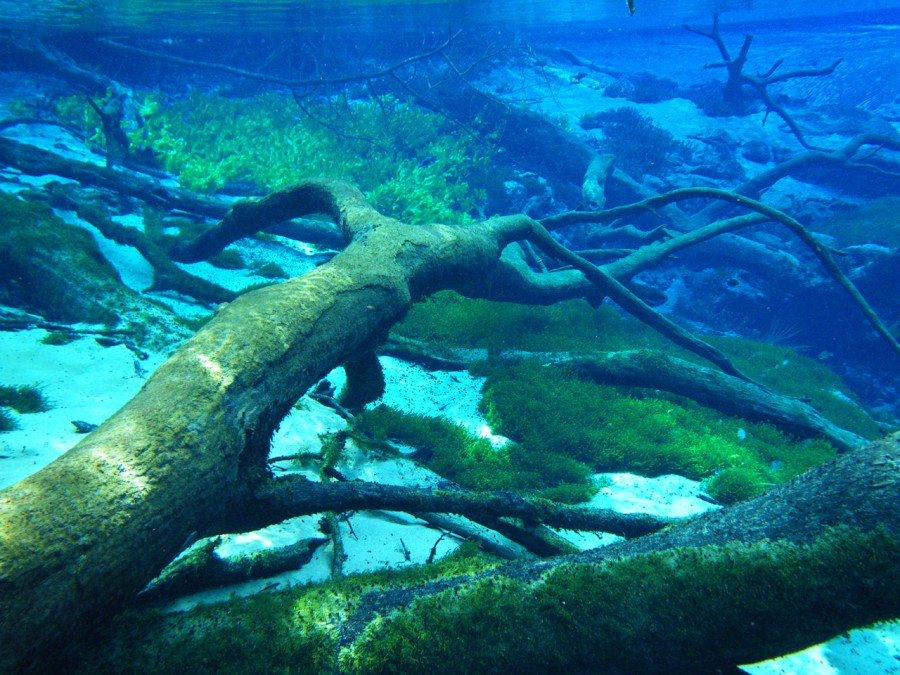 Photograph underwater of fallen trees at Cypress Spring near Vernon