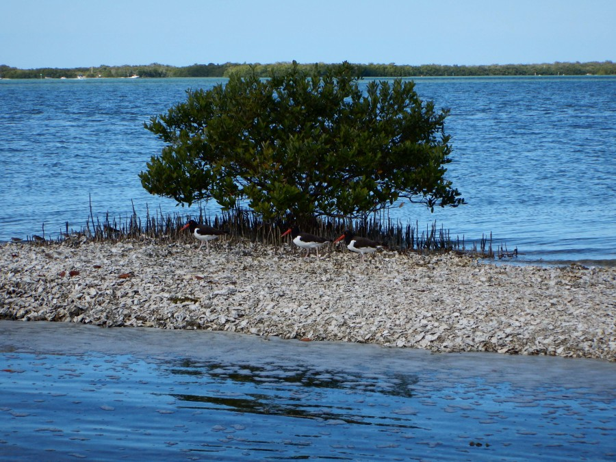 Three Oyster Catcher birds site on a oyster reef at Estero Bay Aquatic Preserve