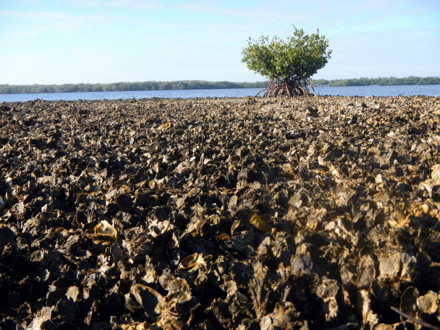 Exposed oyster reef at Estero Bay Aquatic Preserve