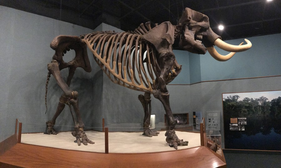 Herman the Wakulla mastodon skeleton on display at the Museum of Florida History, Tallahassee