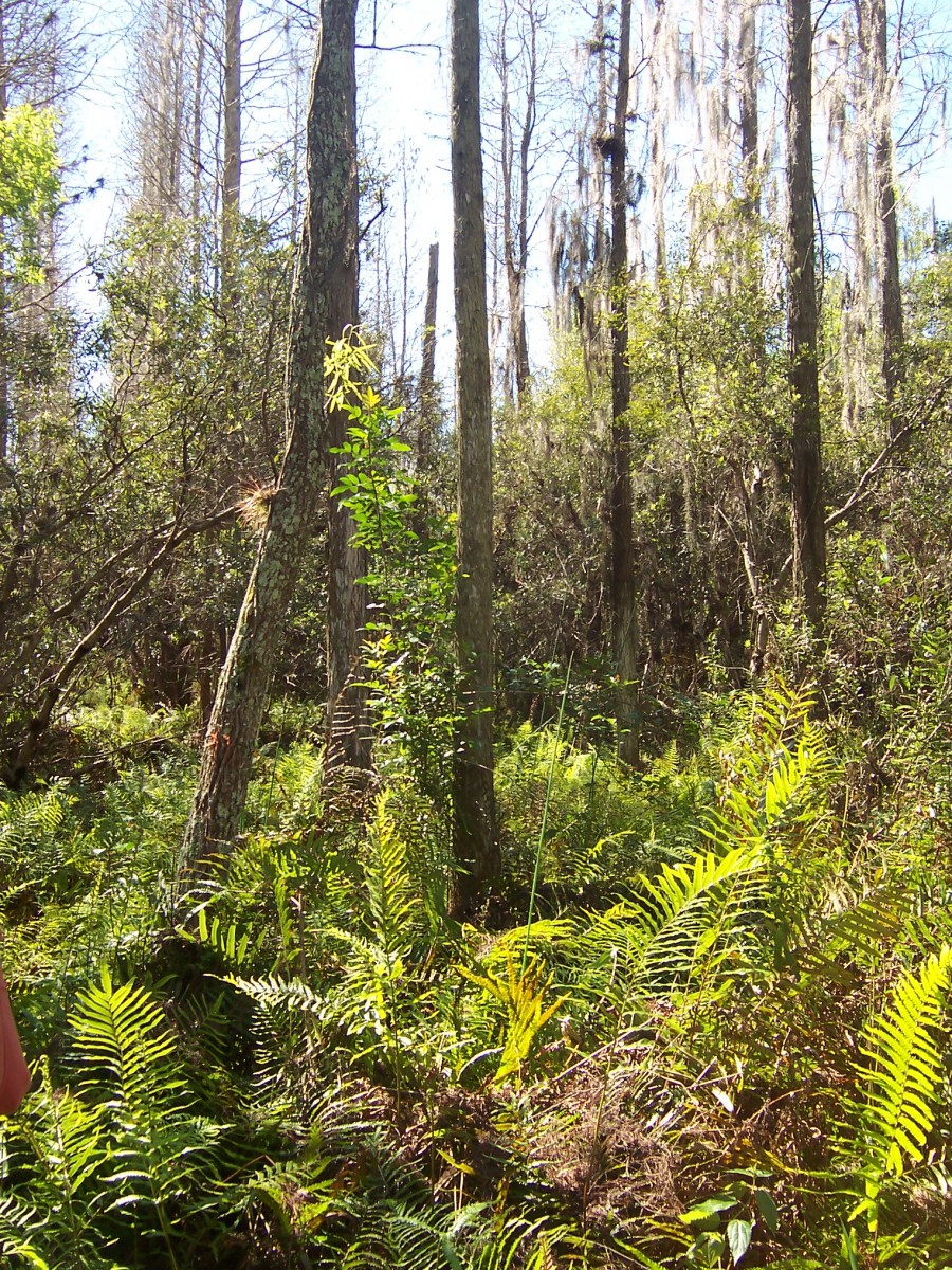 33-year old reclaimed cypress swamp with fern understory at Fort Green Phosphate Mine