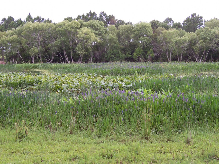 Reclaimed herbaceous marsh at Fort Green Phosphate Mine