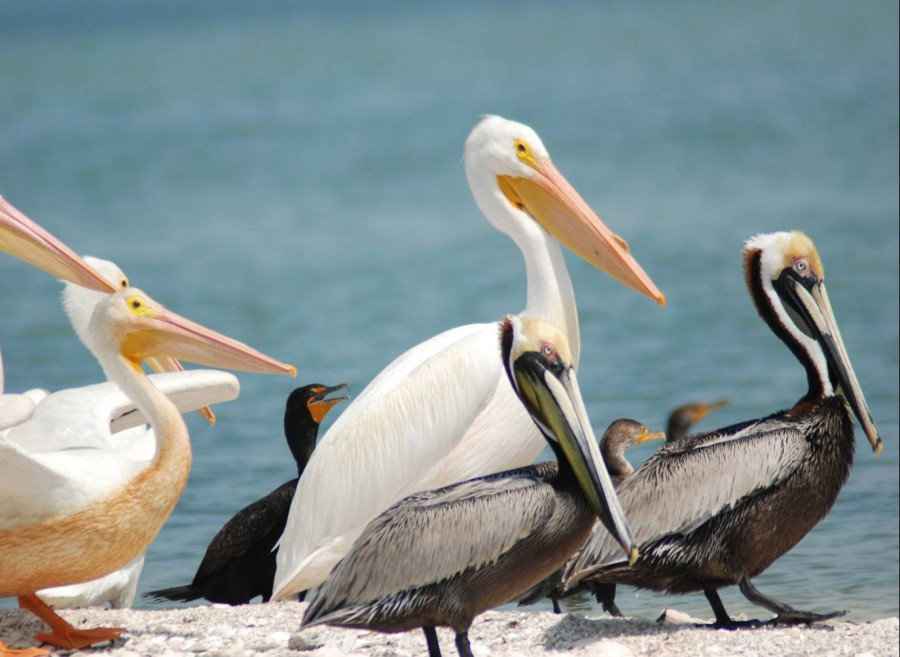 White pelicans, brown pelicans and cormorants rest on a sand bar in Gasparilla Sound-Charlotte Harbor Aquatic Preserve