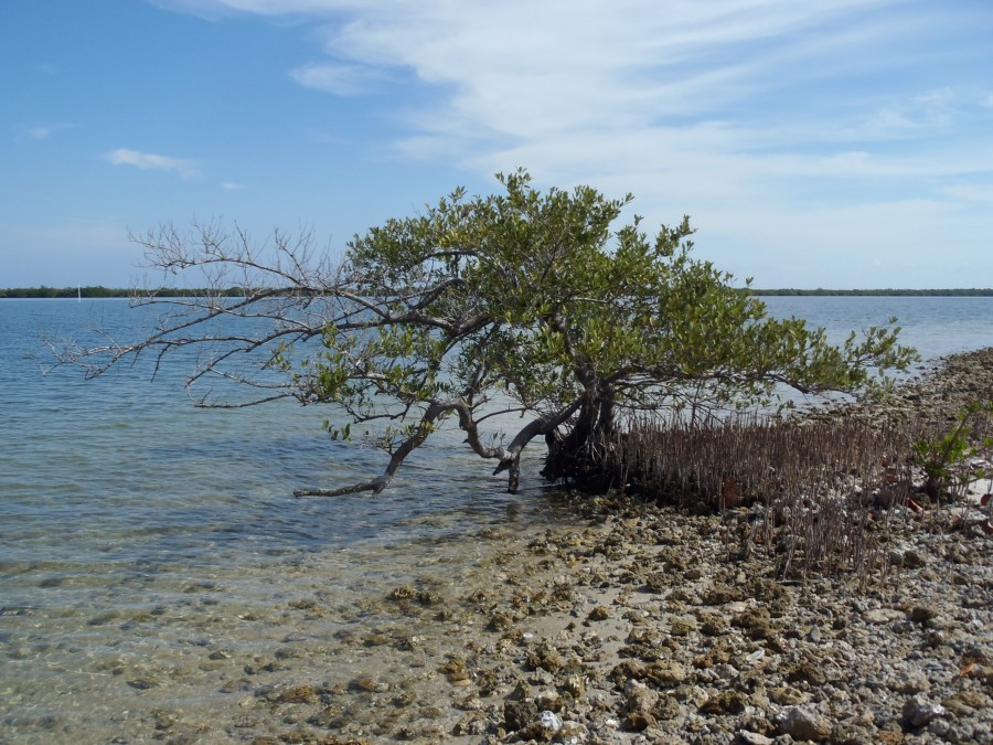 a black mangrove colonizes the edge of a spoil island in Indian River Lagoon
