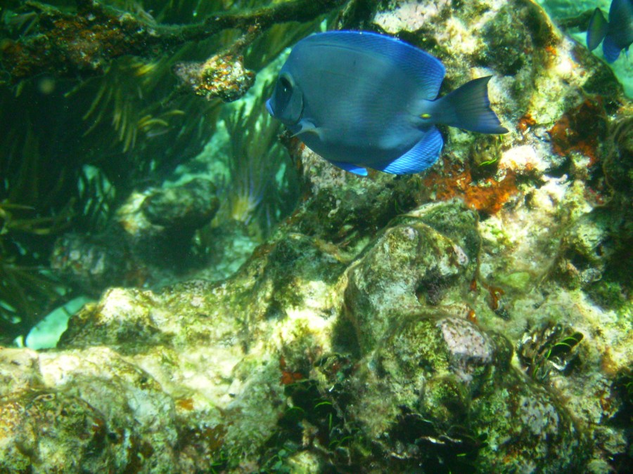 A Blue Tang swimming at John Pennekamp Coral Reef State Park