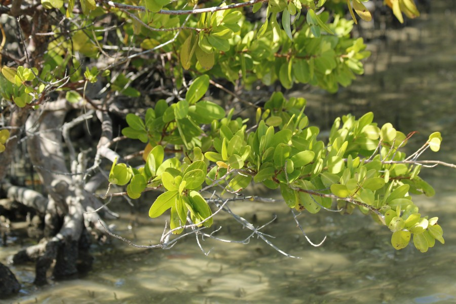 a close-up of a white mangrove leaves at Rookery Bay National Estuarine Research Reserve