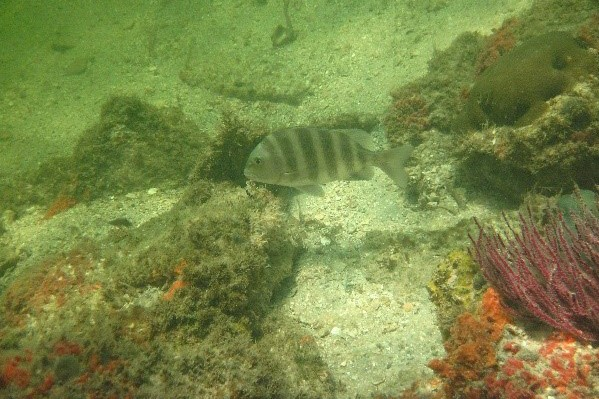 A sheepshead forages on live-bottom habitat in Lemon Bay Aquatic Preserve