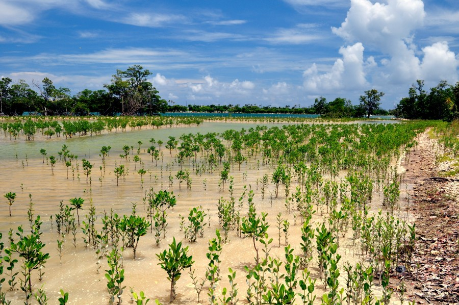 Mangrove restoration within BBAP