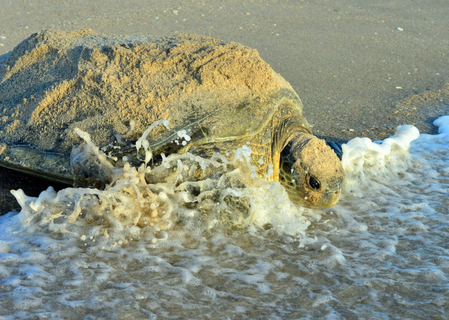 Green Sea Turtle makes a splash in the ocean after nesting at Sebastian Inlet State Park