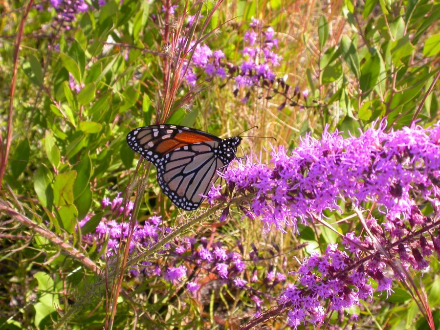 A monarch butterfly rests on a liatris at St. Joseph Bay State Buffer Preserve.