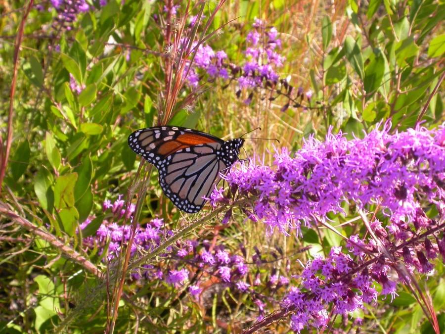 St Joseph Bay State Buffer Preserve - DEP Staff - Monarch butterfly on liatris
