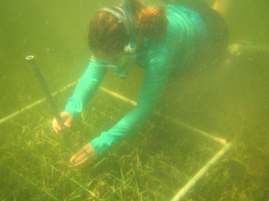 Measuring the length of seagrass blades is one of many measurements that staff take to determine seagrass distribution, abundance, individual growth, and overall health of the habitat.
