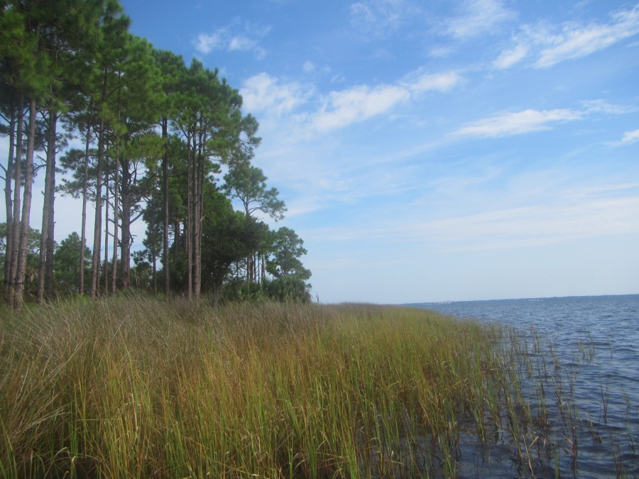 Salt marsh on the bayside of Shell Island serves as an exclusive habitat for a variety of juvenile fish, invertebrates, birds, reptiles, and mammals.