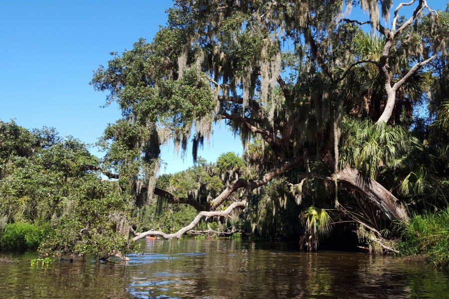 Live oak trees are covered with Spanish moss along Frog Creek in Terra Ceia Aquatic Preserve