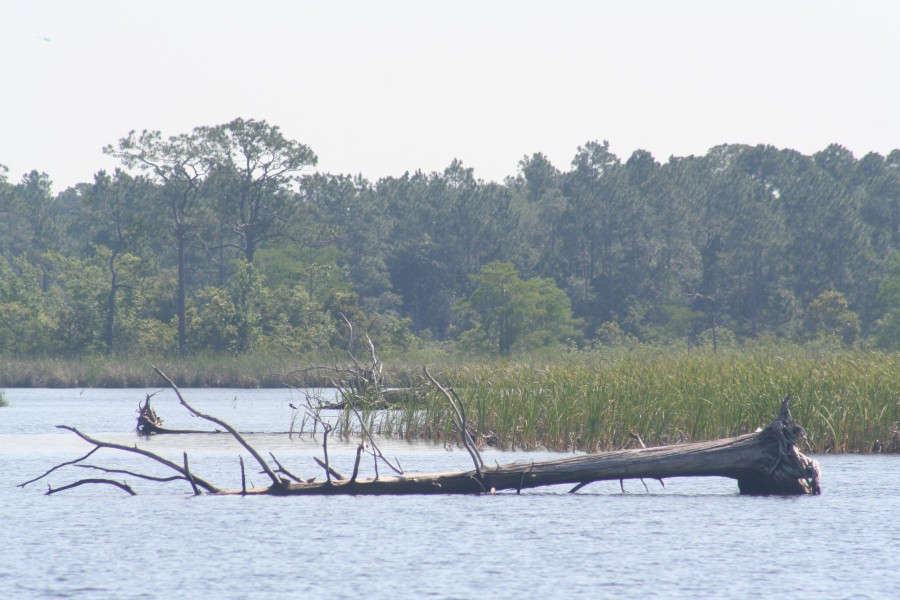 Trees on the shore of Yellow River Marsh Aquatic Preserve have succumbed to high waters, and fallen into the bay.