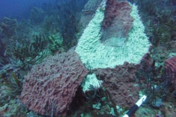 Cut sponge on Florida's coral reef