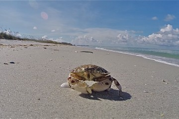 Don Pedro Island State Park - Calico Crab on the Beach