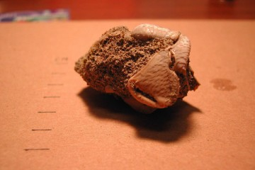 Photo of a Fossil crab
