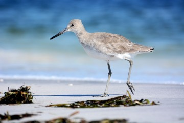 Gasparilla Island State Park - Willet on the beach