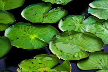 Lake Louisa State Park - Lily Pads floating on the water