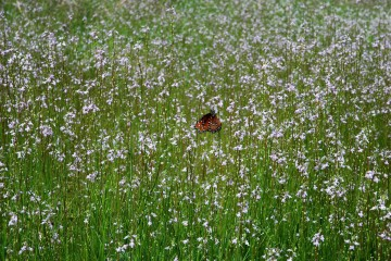 Myakka River State Park - Butterfly in a field