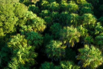 Myakka River State Park - View of Palms from above