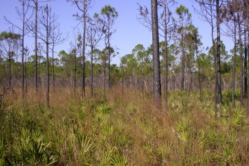 saw palmetto and pines make up a mesic flatwoods in St. Joseph Bay State Buffer Preserve