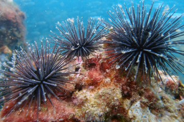 St. Andrews State Park - Sea Urchins underwater