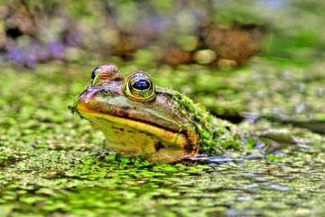 St. Andrews State Park - Bullfrog